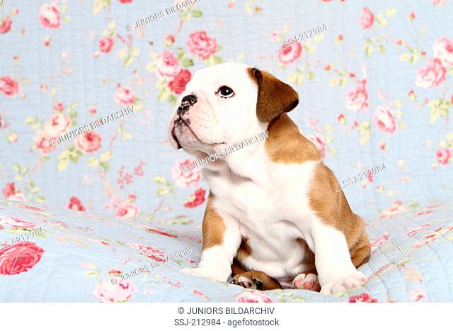 English Bulldog. Puppy (7 weeks old) sitting on a blue blanket with rose flower print. Germany