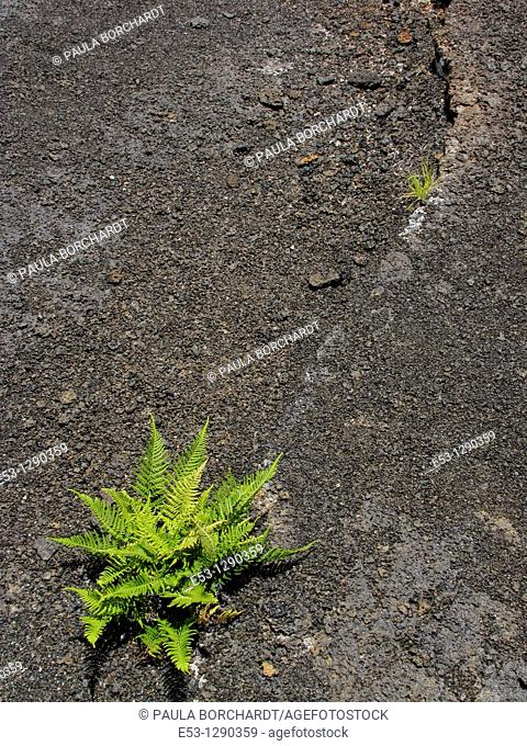 Ferns growing in crack of lava, Kilauea Crater, Kilauea Iki Trail, Hawaii Volcanoes National Park, Hawaii, USA