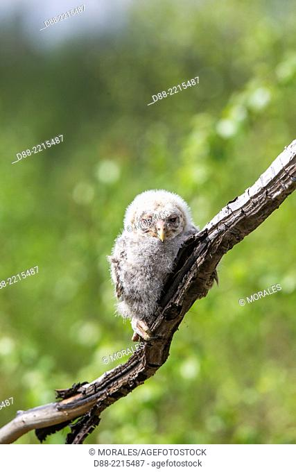 Europe,Finland,Kuhmo area,Kajaani,Ural owl (Strix uralensis,young just after he left the nest,perched on a branch