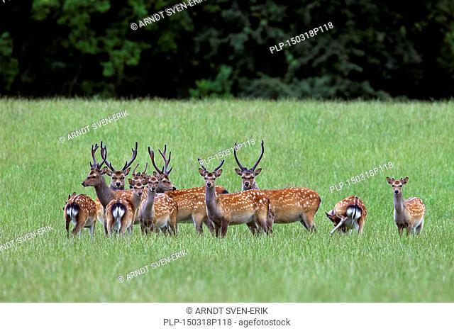 Sika deer / spotted deer/ Japanese deer (Cervus nippon) herd of stags with antlers covered in velvet in summer