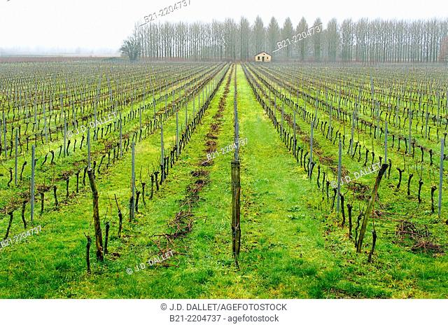 Vineyard during winter at Langoiran, in the Entre Deux Mers wines district of the Bordeaux wine area, Gironde, Aquitaine, France