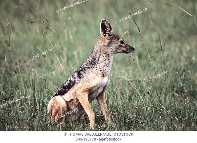 Black-backed Jackal (Canis mesomelas). Masai Mara National Reserve. Kenya