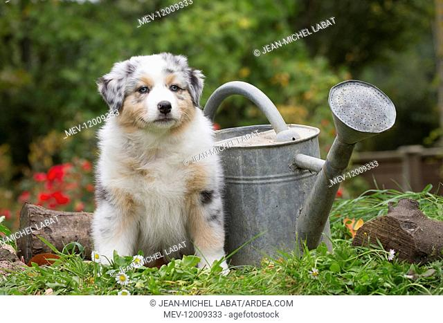 Australian Shepherd Dog puppy outdoors Australian Shepherd Dog puppy outdoors