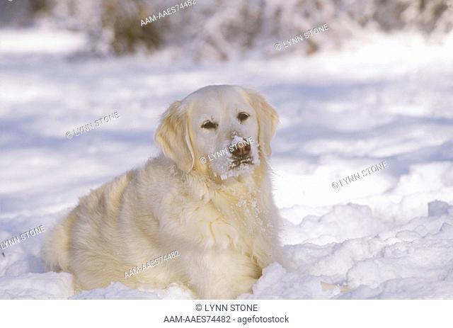 Dog: Golden Retriever, British Type