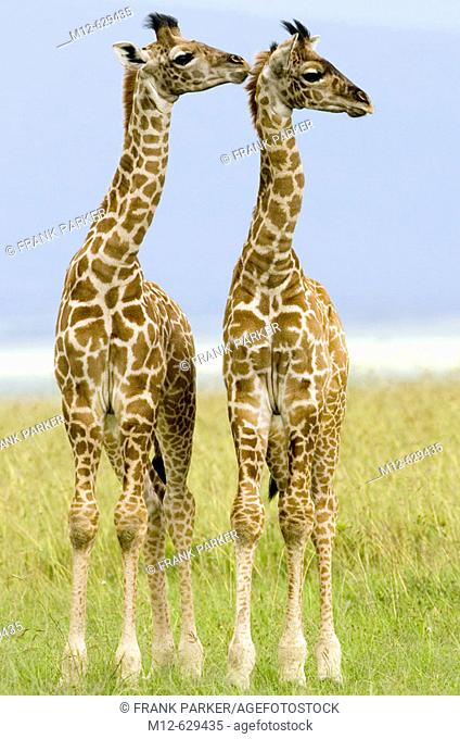 Two newborn Masai Giraffe on the Masai Mara, Kenya