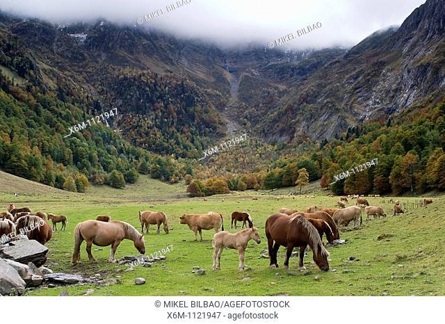 Horses in a mountain meadow  Artiga de Lin  Aran Valley  Pyrenees mountain range  Lerida province  Catalonia, Spain, Europe