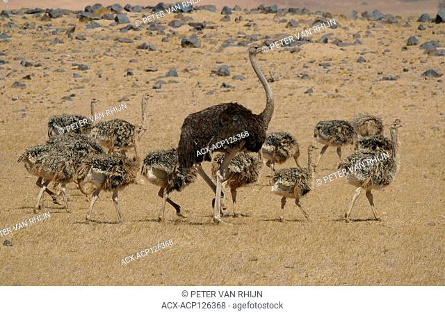 13 juvenile ostriches and one adult female are captured here out of an observed total of 71 juveniles with two adult females