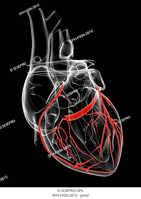 Healthy heart. Computer artwork showing the coronary arteries