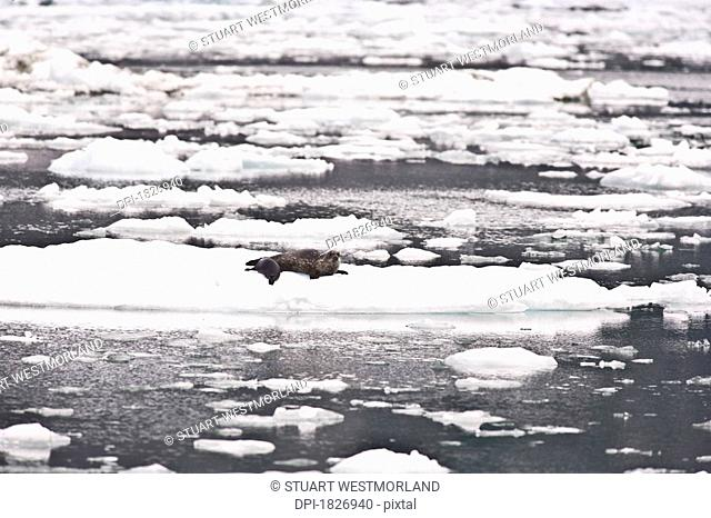 Mother and baby harbor seals Phoca vitulina, Le Conte Glacier, Southernmost Glacier in North America, Alaska, USA