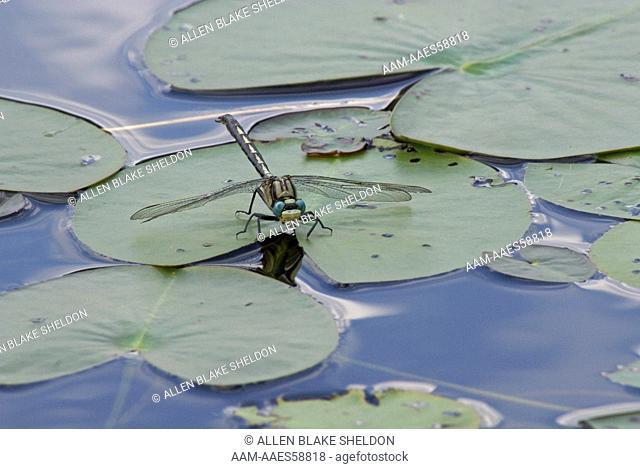 Lilypad Clubtail (Arigomphus furcifer) Boundary Waters Canoe Area, Wilderness Lake County, MN