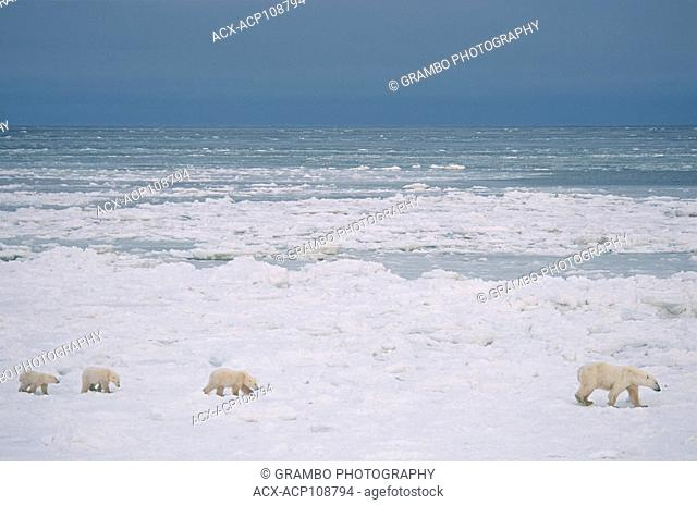Polar bear mother with three cubs (unusual), Ursus maritimus, on nearshore ice near Churchill, Manitoba, Canada