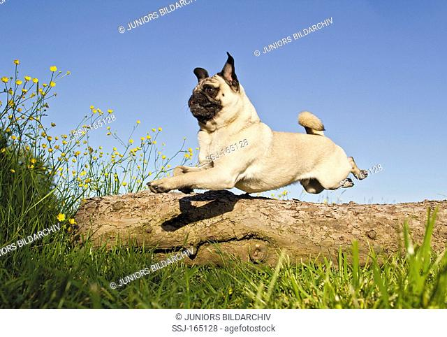 Pug dog - jumping over trunk