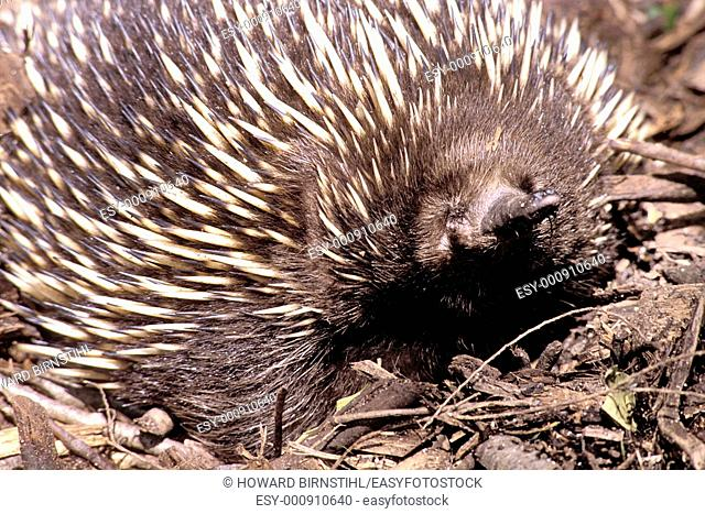 close up of echidna Family Tachyglossidae as it sniffs at the camera