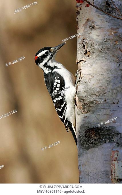 Hairy Woodpecker - male (Hairy Woodpecker). Picoides villosus