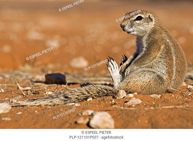 Cape ground squirrel Xerus inauris sitting in the Kalahari desert, Kgalagadi Transfrontier Park, South Africa