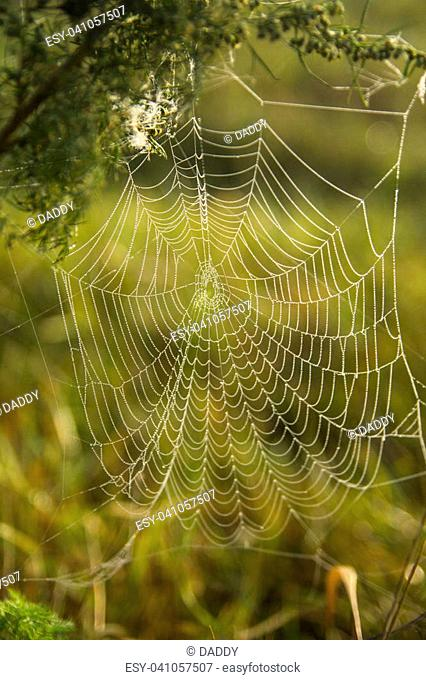 Morning Dew On A Spiderweb Dangling Weed