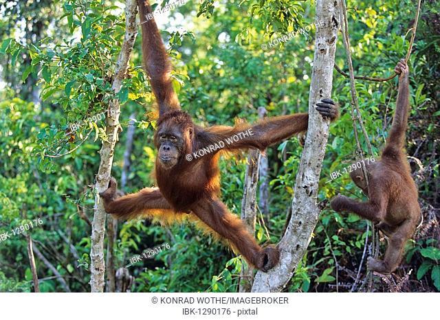 Young Orang Utan (Pongo pygmaeus) in tree, Tanjung Puting National Park, Borneo, Asia