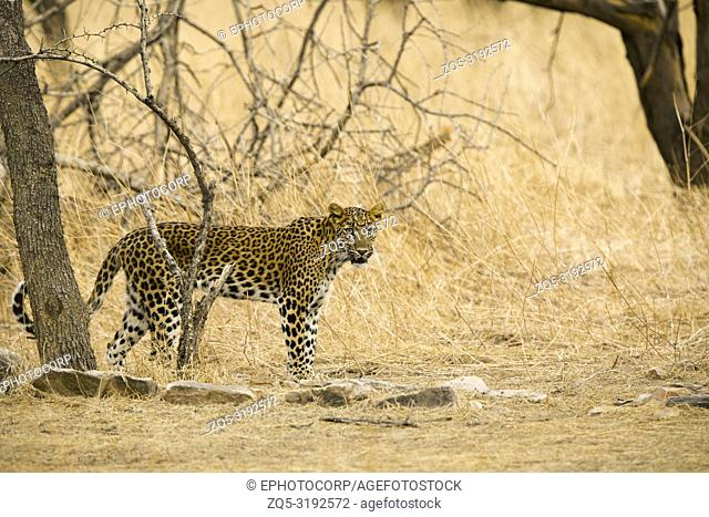 Indian leopard, Panthera pardus fusca, Jhalana, Rajasthan, India
