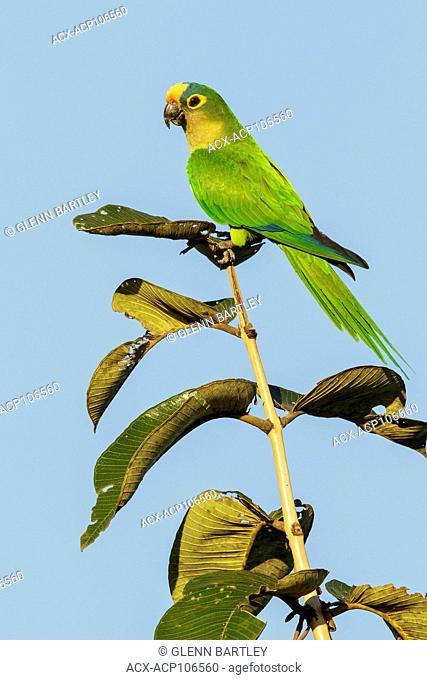 Peach-fronted Parakeet (Eupsittula aurea) perched on a branch in the Pantanal region of Brazil