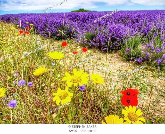 Summer wild flowers in lavender field