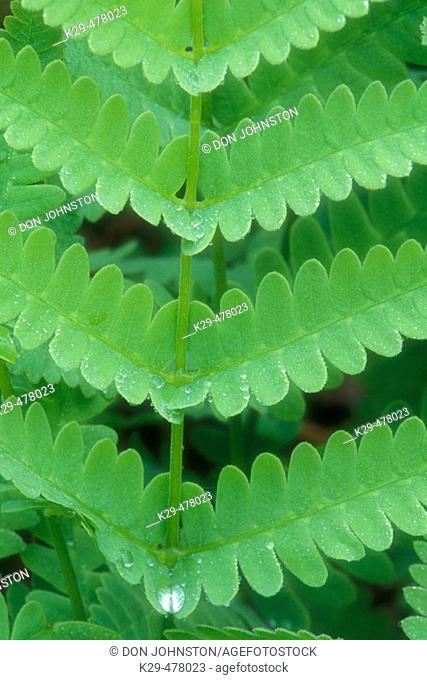 Interrupted fern, (Osmunda claytoniana). Fern fronds and rain drop. Lively. Ontario. Canada