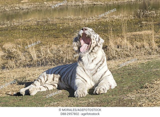 South Africa, Private reserve, Asian (Bengal) Tiger (Panthera tigris tigris), White tiger, Yawning while resting
