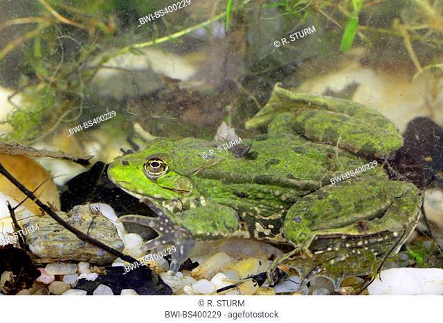 European edible frog, common edible frog (Rana kl. esculenta, Rana esculenta, Pelophylax esculentus), hiding on the ground of a pond, Germany, Bavaria