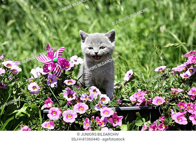 British Shorthair. Gray kitten (6 weeks old) standing amongst flowering Petunias while meowing. Germany