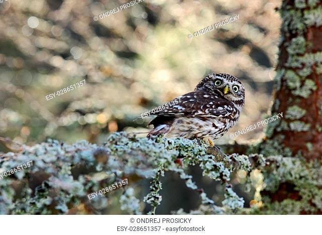 Small Boreal owl in the autumn larch forest in central Europe