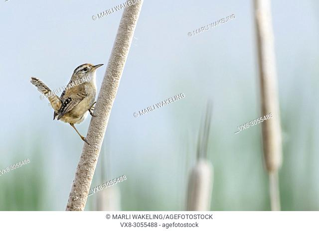 Marsh wren, Cistothorus palustris, George C. Reifel Migratory Bird Sanctuary, Delta, British Columbia, Canada