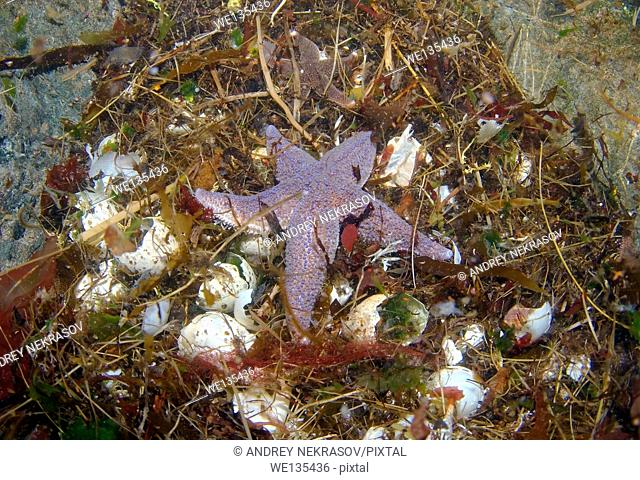 Common Starfish (Asterias rubens), Arctic, Russia, Barents sea