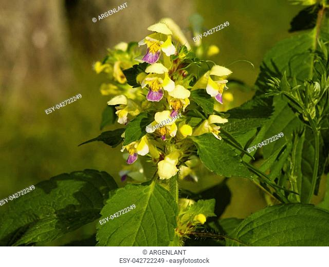 Large-flowered Hemp-nettle or Edmonton hempnettle, Galeopsis Speciosa, plant with flowers on bokeh background, selective focus, shallow DOF
