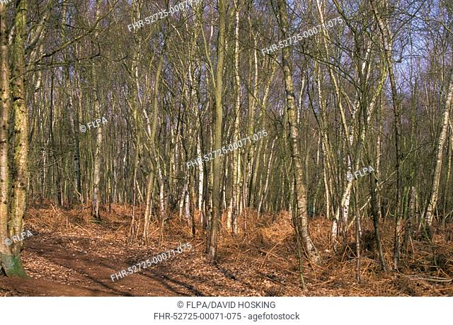 Deciduous Forest Silver Birch woodland growing at Redgrave and Lopham Fen / Suffolk