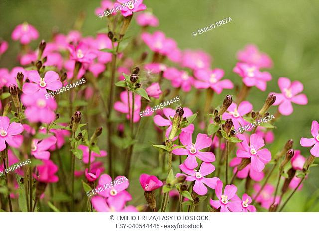 Red campion. Silene sp