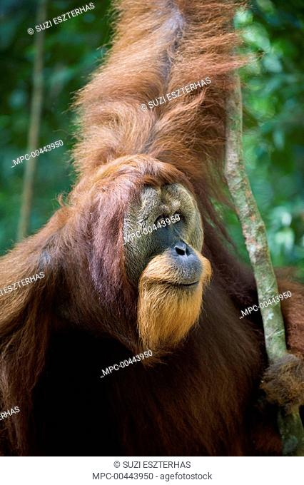 Sumatran Orangutan (Pongo abelii) dominant male, Gunung Leuser National Park, north Sumatra, Indonesia