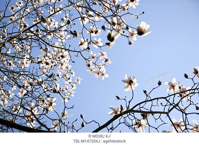 Branches of a magnolia tree in flower against a blue sky