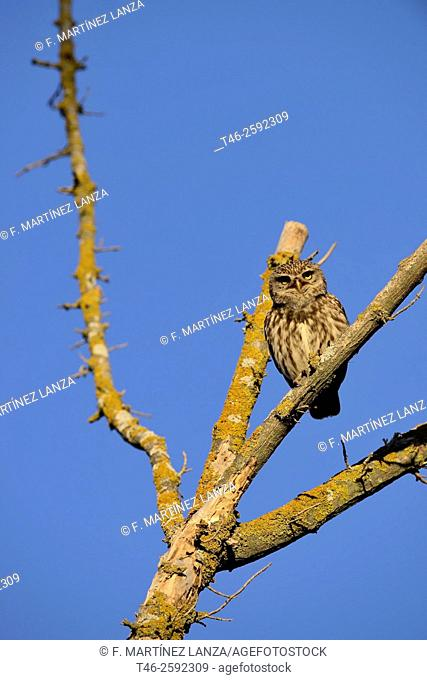 Common owl (Athene noctua). Photographed at Guadarrama Regional Park. Madrid