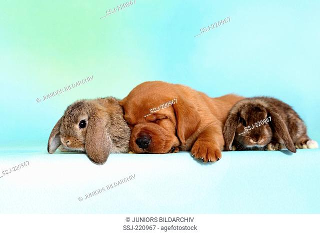 Labrador Retriever. Puppy (5 weeks old) with a pair of dwarf lop-eared bunnies, sleeping. Germany. Studio picture seen against a turquoise background