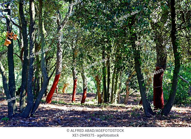 Cork oaks, Les Gavarres, Girona, Catalonia, Spain