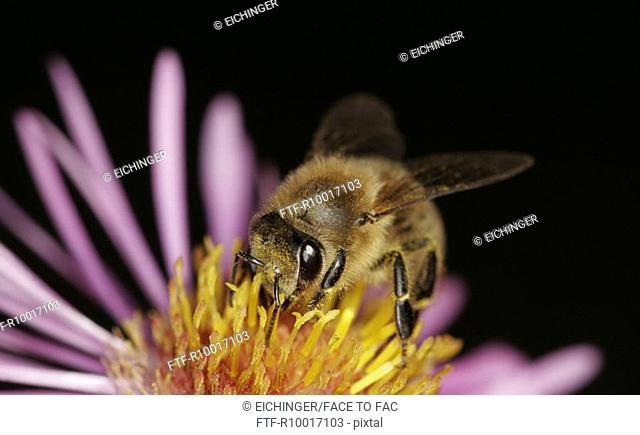 Bee on flower, close-up