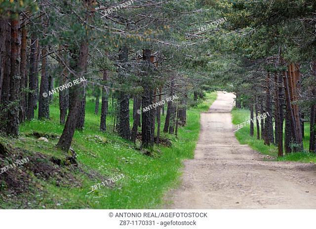 Scots Pine (Pinus sylvestris) grove, Orea, Alto Tajo Natural Park, Guadalajara province, Castilla-La Mancha, Spain