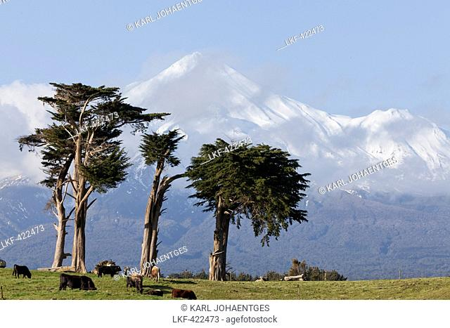 Dairy cows grazing in a meadow in front of the Mt Egmont volcano, Mount Taranaki, snow cone, North Island, New Zealand