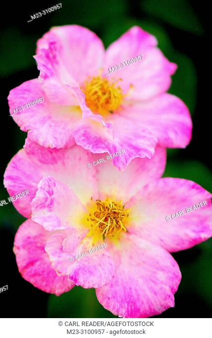A pair of pink roses in soft focus, Pennsylania, USA