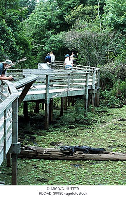 Tourists on planks looking at American Alligator Corkscrew Swamp Florida USA Alligator mississippiensis