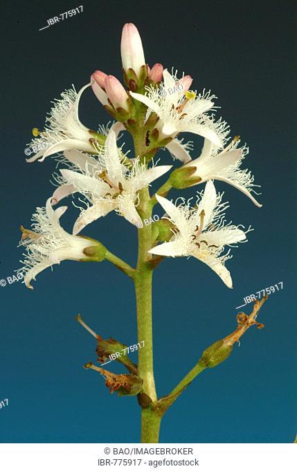 Bog Bean, Buckbean (Menyanthes trifoliata), medicinal plant