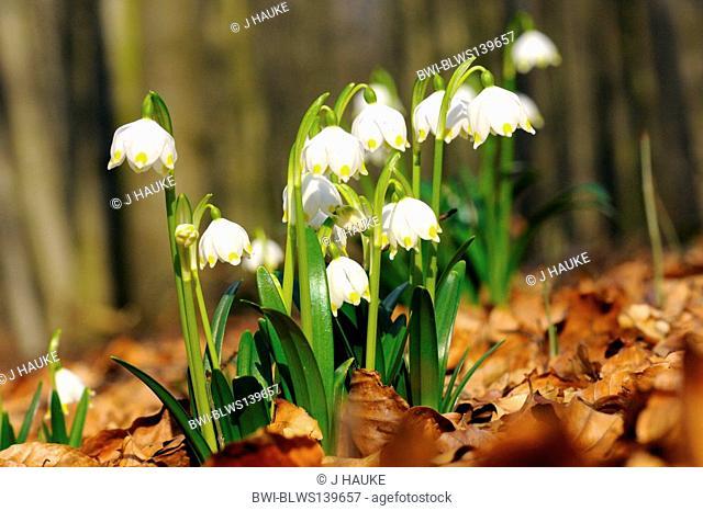 spring snowflake Leucojum vernum, blooming plants in the forest, Germany, Lower Saxony, Naturschutzgebiet Schweineberg, Hamelin