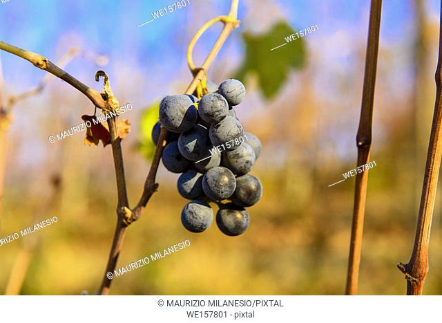 Langhe, Piedmont Italy, small bunches of grapes left in the vineyard after harvest in the late autumn, at the bottom the colorful landscape is blurry