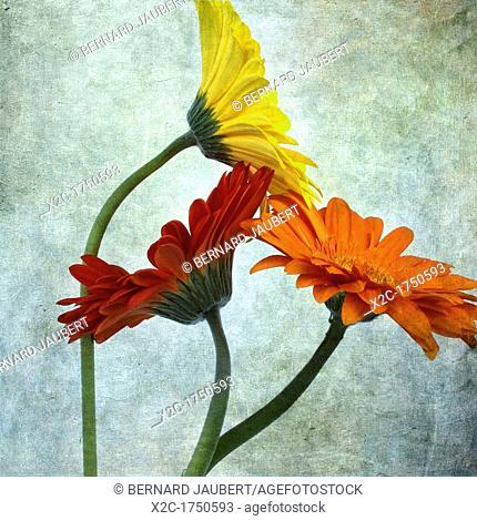 Gerbera flowers, vintage-look
