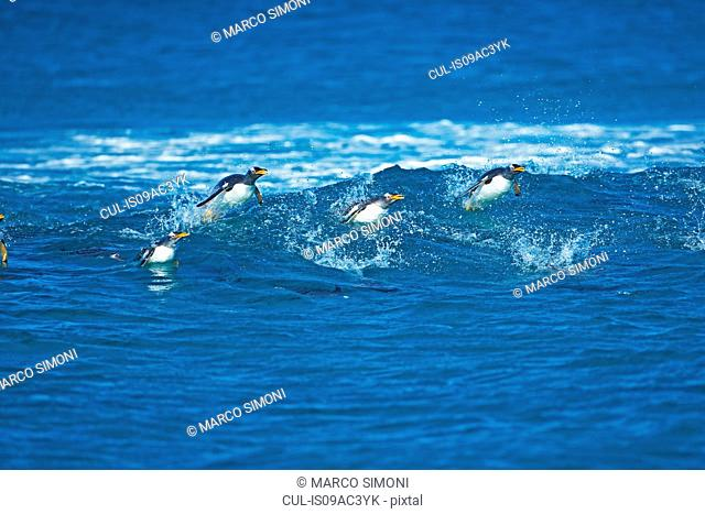 Gentoo penguins (Pygoscelis papua papua) surfing waves, Falkland Islands