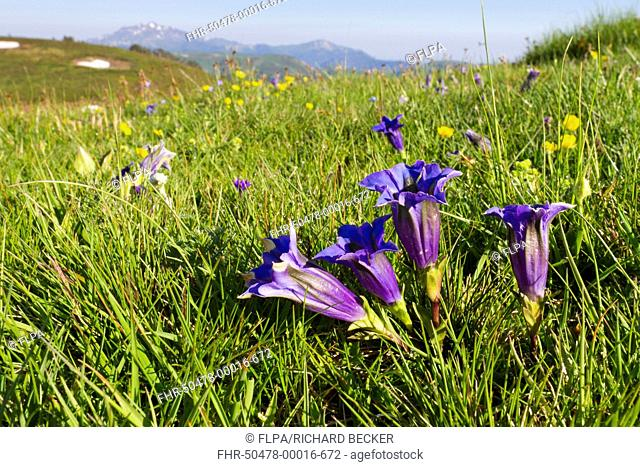 Trumpet Gentian (Gentiana acaulis) flowering, growing in alpine pasture, Col de Pailheres, Ariege Pyrenees, Midi-Pyrenees, France, June